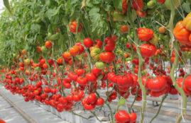 pomidor Gourmandia