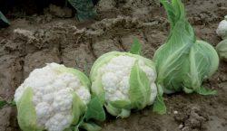 Wymagania klimatyczne i glebowe do uprawy kalafiora