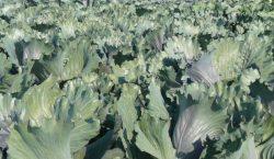 Szkodniki warzyw: pchełki