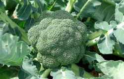 Wartości odżywcze brokuła