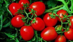 Objawy niedoborów mikroelementów w pomidorze
