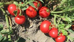 Nawożenie mineralne pomidorów gruntowych