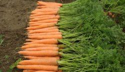 Wymagania pokarmowe i potrzeby nawozowe marchwi