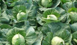 Wymagania klimatyczne i glebowe dla kupusty