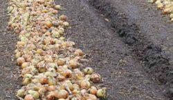 Wymagania pokarmowe i potrzeby nawozowe cebuli