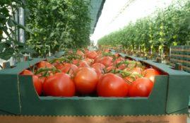 pomidor-w-skrzynce