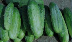 Wymagania nawozowe i potrzeby pokarmowe ogórka gruntowego