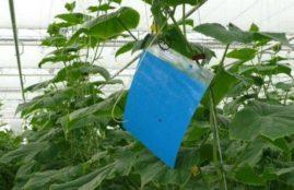 Niebieskie tablice lepowe służą do monitoringu wciornastków