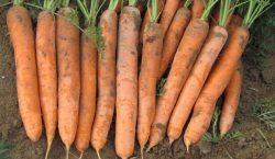 Szkodniki glebowe w uprawach polowych warzyw - Rolnica zbożówka
