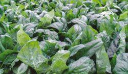 Wymagania klimatyczne i glebowe do uprawy szpinaku