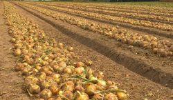 Wymagania klimatyczne i glebowe do uprawy cebuli