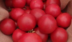 Wymagania pokarmowe pomidora gruntowego