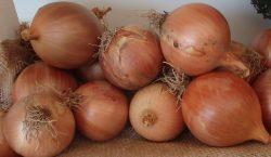 Choroby cebuli: mączniak rzekomy i alternarioza