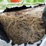 Korzenie przerastające matę kokosową