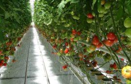 pomidory-w-szklarni