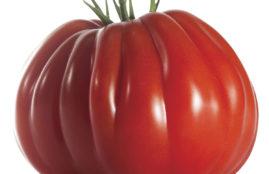 Tomate cour de boeufCLX 37438