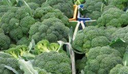 Zaburzenia fizjologiczne w rozwoju brokułu