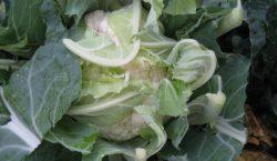 Szkodniki warzyw kapustnych - gnatarz rzepakowiec