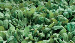 Wymagania nawozowe i potrzeby pokarmowe szpinaku