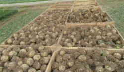 Szkodniki glebowe w uprawach polowych warzyw - drutowce