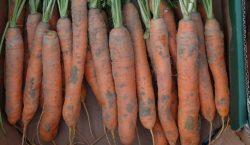 Choroby bakteryjne warzyw korzeniowych