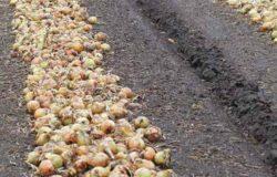 Dobór odmian cebuli
