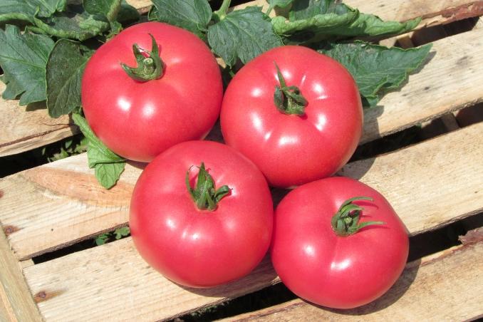pomidor Kwintella