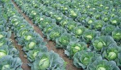 Kiła kapusty w uprawach warzyw