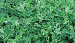 Nawozy zielone do uprawy warzyw polowych