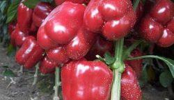 Sucha zgnilizna owoców psiankowatych