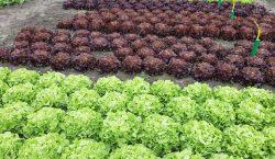 Wymagania pokarmowe i nawożenie sałaty